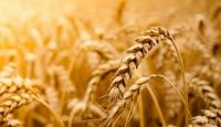 Tahıl Nedir? Faydaları Nelerdir?